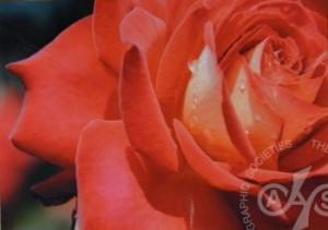 「情熱の花」