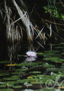 「水に棲む花」