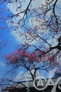 「花桃満開」