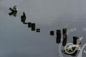 「池のカモ」