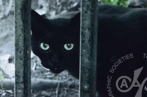2017年6月例会 5位 「黒猫の眼光」 N.H.さん