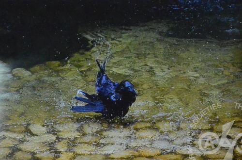 2017年7月例会 2位 「烏の行水」 I.N.さん